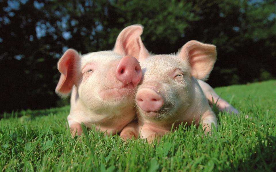 El estado emocional del cerdo Vs calidad de la carne