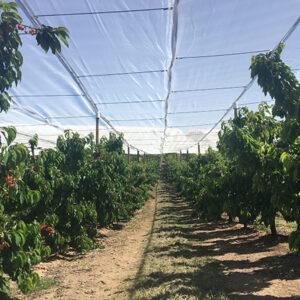 Nueva instalación en Ricla.Sistema cruzado con malla blanca para cerezas